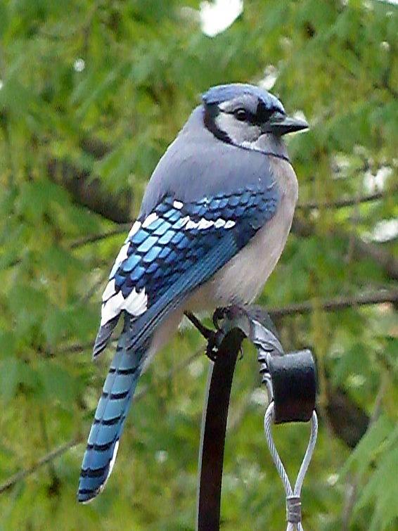Film Kentu Adegan Hot Dewi Persik Film Kutunggu Jandamu Youtube Male And Female Blue Jays The Blue Jay Is Known For Its