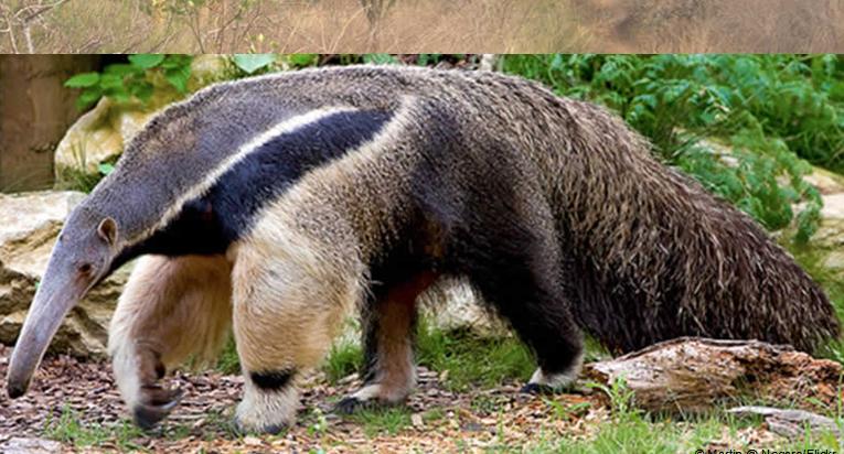 Oropharynx Cat Giant Anteater Size