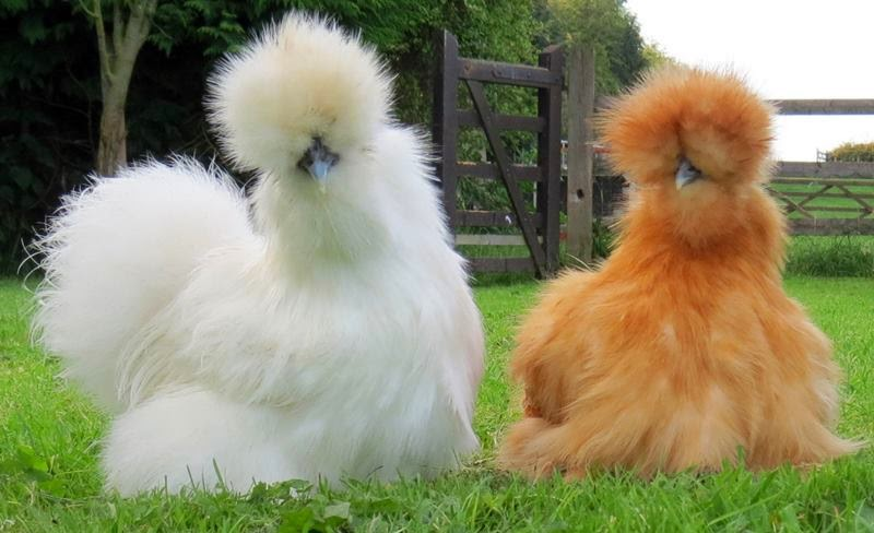Silkie fluffy chicken breed fluffy plumage, black skin and bones chicken. chicken breeds, Chinese silk chicken, wool-bearing chickens, ubiquitous chickens breeds