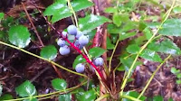 fruit around the world, strange fruit, strange fruit around the world, crazy fruit, crazy fruit around the world, OREGON GRAPE