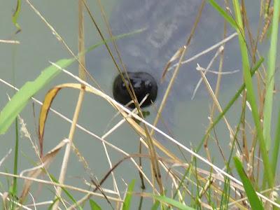 花博記念公園鶴見緑地 日本庭園 睡蓮池のカメ