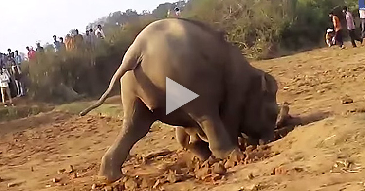 Mother Elephant spent 11 hours digging a water well to save her baby