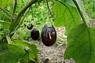 Berenjena, Solanum melongena