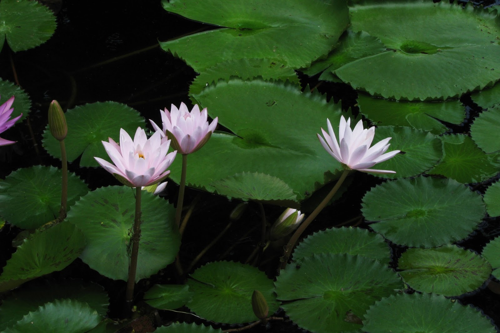 Lotus Flower Hd Wallpapers