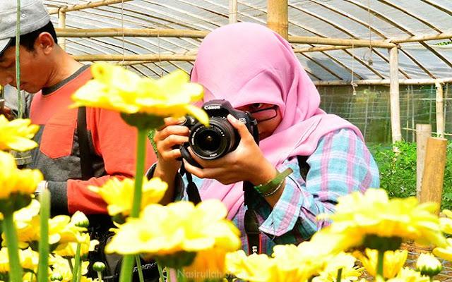 Bunga Krisan di Desa Wisata Poncokusumo