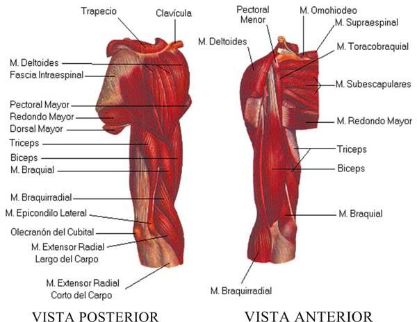 Sistema muscular esquelético humano brazo