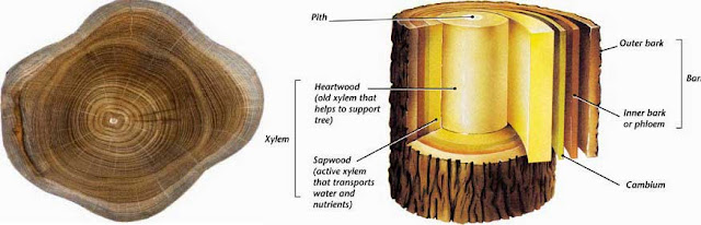 Pertumbuhan dan fungsi batang tumbuhan