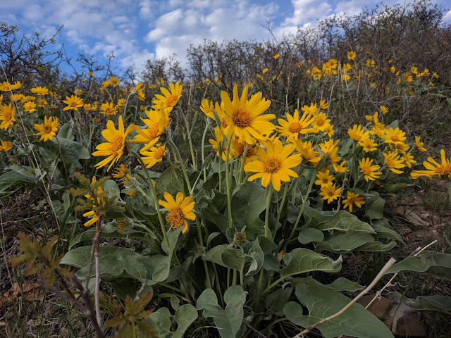 Arrowleaf Balsamroot Flower on Dry Canyon Trail in the Spring
