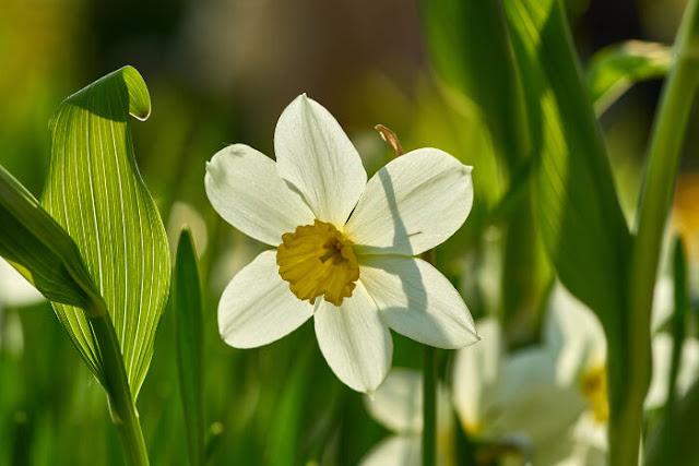 صور زهرة النرجس