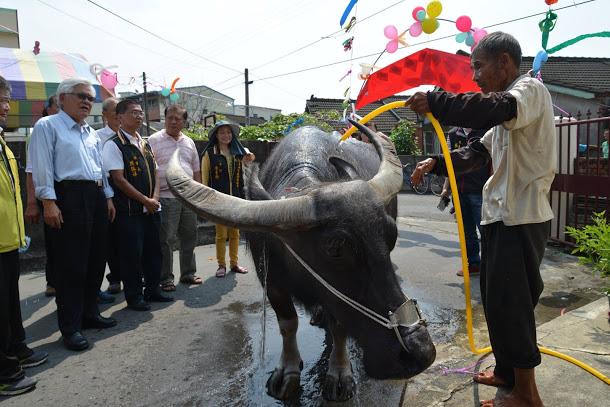元長-鹿南村有喜事 水牛搬新家前往西螺農工安享晚年