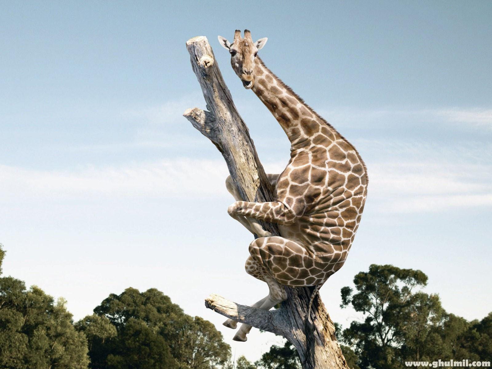 3d White Rose Wallpaper Funny Giraffe Climbing Dry Tree Dream Wallpapers