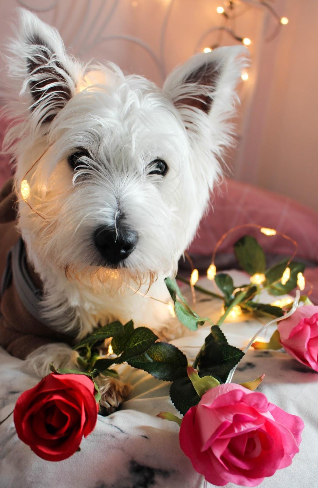 westie valentines roses
