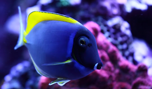 Gambar Ikan Botana Biru - Budidaya Ikan