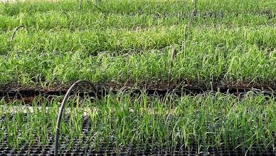Semillero con hierba emergiendo