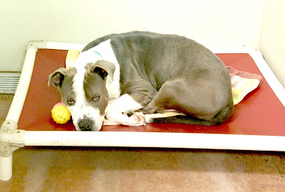 A lonely Pit Bull who was stuck in the shelter for a long time  #animalsheltering