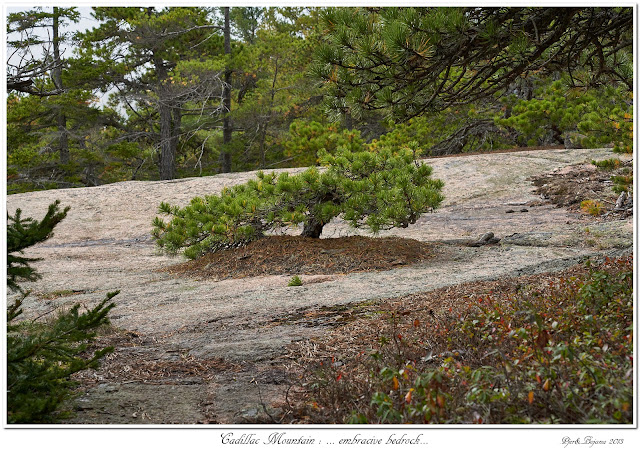 Cadillac Mountain: ... embracive bedrock...