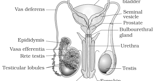 Blank Male Reproductive System Diagram