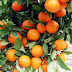 Cara Alami Menggunakan Jeruk Sebagai Bahan Kecantikan Wajah