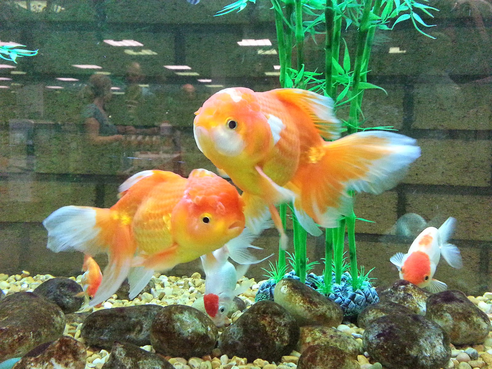 Fancy goldfish life of sea for Fancy fish tanks
