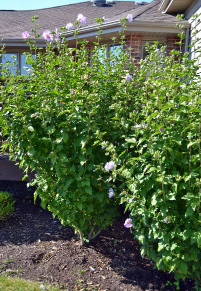 Rose of Sharon Bushes