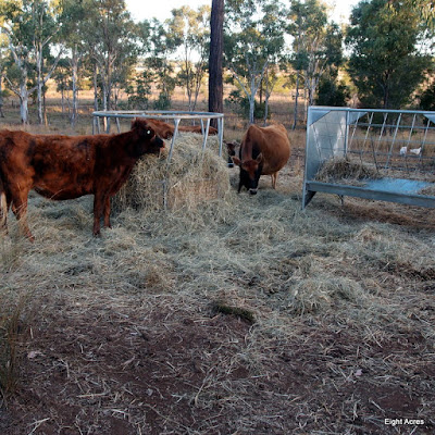 eight acres: supplement feeding (hay or grain) for a house cow and other cattle