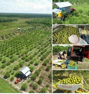cara agar tanaman jeruk cepat berbuah