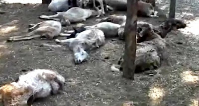 Goats Killed By Chupacabras in Parácuaro, México