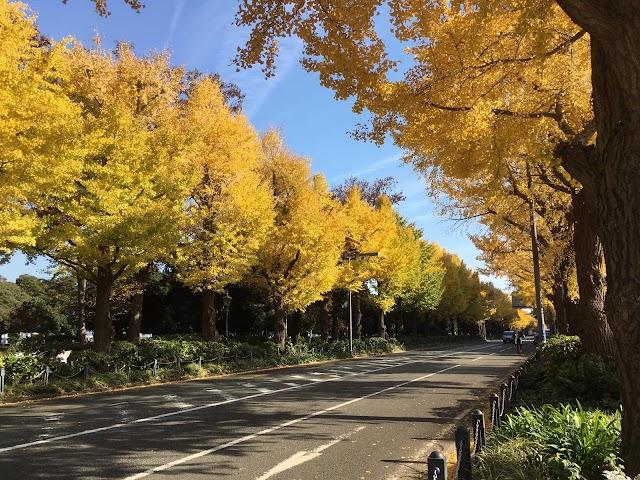 Daun Icho Menguning saat Musim Gugur di Jepang