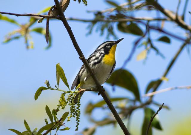 Yellow-throated Warbler - Merritt Island, Florida