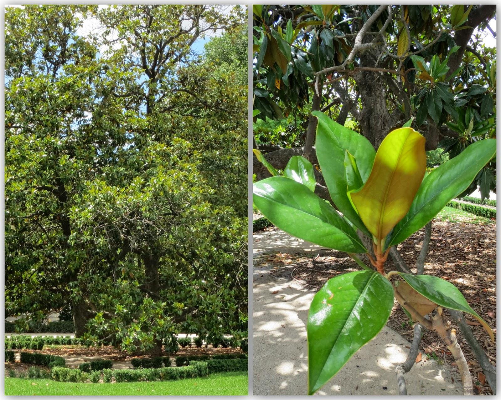 Parque del Retiro. Magnolio / Magnolia