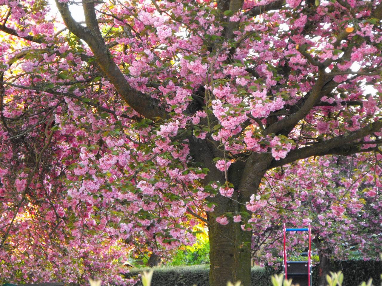 Evariste Zephyrin - photographer: Le jardin des cerisiers en fleurs