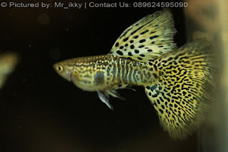Jual Guppy Yellow Cobra,    makanan ikan guppy biar cepat besar, jual ikan guppy import, jual ikan guppy, jual guppy, cara agar ikan guppy cepat beranak, ikan guppy, ikan guppy import, guppy import, guppy full red, jenis ikan guppy import, jasa pengiriman hewan dari depok ke pangkal pinang, guppy agen, jual guppy import 2015, ikan guppy super red, cara membuat buntut ikan guppy cepat panjang dan lebar, bandar ikan guppy, gimana cara agar ikan guppy terlihat bagus, guppy red head merawat,Jual Guppy Yellow Gold Grass Snake Skin,  Harga Guppy Yellow Gold Grass Snake Skin,  Toko Guppy Yellow Gold Grass Snake Skin,  Diskon Guppy Yellow Gold Grass Snake Skin,  Beli Guppy Yellow Gold Grass Snake Skin,  Review Guppy Yellow Gold Grass Snake Skin,  Promo Guppy Yellow Gold Grass Snake Skin,  Spesifikasi Guppy Yellow Gold Grass Snake Skin,  Guppy Yellow Gold Grass Snake Skin Murah,  Guppy Yellow Gold Grass Snake Skin Asli,  Guppy Yellow Gold Grass Snake Skin Original,  Guppy Yellow Gold Grass Snake Skin Jakarta,  Jenis Guppy Yellow Gold Grass Snake Skin,  Budidaya Guppy Yellow Gold Grass Snake Skin,  Peternak Guppy Yellow Gold Grass Snake Skin,  Cara Merawat Guppy Yellow Gold Grass Snake Skin,  Tips Merawat Guppy Yellow Gold Grass Snake Skin,  Bagaimana cara merawat Guppy Yellow Gold Grass Snake Skin,  Bagaimana mengobati Guppy Yellow Gold Grass Snake Skin,  Ciri-Ciri Hamil Guppy Yellow Gold Grass Snake Skin,  Kandang Guppy Yellow Gold Grass Snake Skin,  Ternak Guppy Yellow Gold Grass Snake Skin,  Makanan Guppy Yellow Gold Grass Snake Skin,  Guppy Yellow Gold Grass Snake Skin Termahal,  Adopsi Guppy Yellow Gold Grass Snake Skin,  Jual Cepat Guppy Yellow Gold Grass Snake Skin,  Kreatif Guppy Yellow Gold Grass Snake Skin,  Desain Guppy Yellow Gold Grass Snake Skin,  Order Guppy Yellow Gold Grass Snake Skin,  Kado Guppy Yellow Gold Grass Snake Skin,  Cara Buat Guppy Yellow Gold Grass Snake Skin,  Pesan Guppy Yellow Gold Grass Snake Skin,  Wisuda Guppy Yellow Gold Grass Snake Skin,  Ultah Guppy Yellow Gold Grass Snake Skin,  Nikah Guppy Yellow Gold Grass Snake Skin,  Wedding Guppy Yellow Gold Grass Snake Skin,  Flanel Guppy Yellow Gold Grass Snake Skin,  Special Guppy Yellow Gold Grass Snake Skin,  Suprise Guppy Yellow Gold Grass Snake Skin,  Anniversary Guppy Yellow Gold Grass Snake Skin,  Moment Guppy Yellow Gold Grass Snake Skin,  Istimewa  Guppy Yellow Gold Grass Snake Skin,  Kasih Sayang  Guppy Yellow Gold Grass Snake Skin,  Valentine  Guppy Yellow Gold Grass Snake Skin,  Tersayang Guppy Yellow Gold Grass Snake Skin,  Unik Guppy Yellow Gold Grass Snake Skin, Harga Guppy Yellow Cobra,  Toko Guppy Yellow Cobra,  Diskon Guppy Yellow Cobra,  Beli Guppy Yellow Cobra,  Review Guppy Yellow Cobra,  Promo Guppy Yellow Cobra,  Spesifikasi Guppy Yellow Cobra,  Guppy Yellow Cobra Murah,  Guppy Yellow Cobra Asli,  Guppy Yellow Cobra Original,  Guppy Yellow Cobra Jakarta,  Jenis Guppy Yellow Cobra,  Budidaya Guppy Yellow Cobra,  Peternak Guppy Yellow Cobra,  Cara Merawat Guppy Yellow Cobra,  Tips Merawat Guppy Yellow Cobra,  Bagaimana cara merawat Guppy Yellow Cobra,  Bagaimana mengobati Guppy Yellow Cobra,  Ciri-Ciri Hamil Guppy Yellow Cobra,  Kandang Guppy Yellow Cobra,  Ternak Guppy Yellow Cobra,  Makanan Guppy Yellow Cobra,  Guppy Yellow Cobra Termahal,  Adopsi Guppy Yellow Cobra,  Jual Cepat Guppy Yellow Cobra,