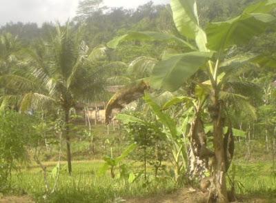 Ciri-Ciri Pohon Pisang Terkena Penyakit Dan Penyebabnya