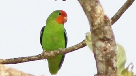 Jenis-Jenis Lovebird Beserta Gambar Lengkap
