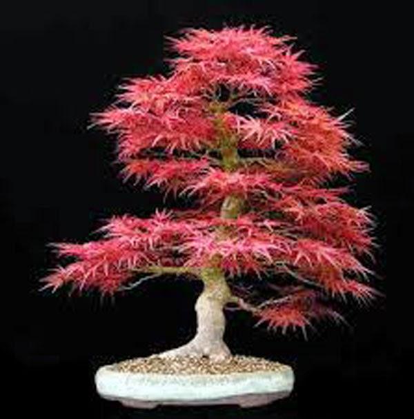 Se virando sem grana como cultivar bonsai - Como cultivar bonsai ...