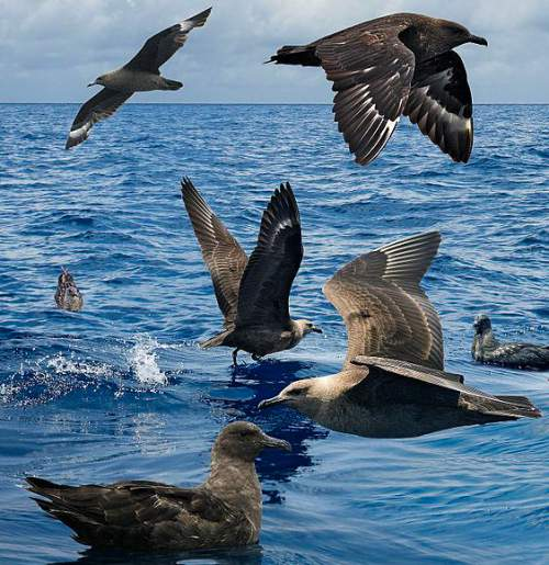 Indian birds - Image of South polar skua - Catharacta maccormicki