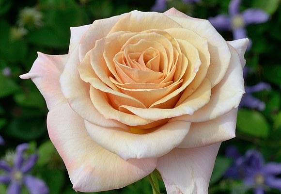 Creme Caramel сорт розы фото Минск купить саженцы питомник
