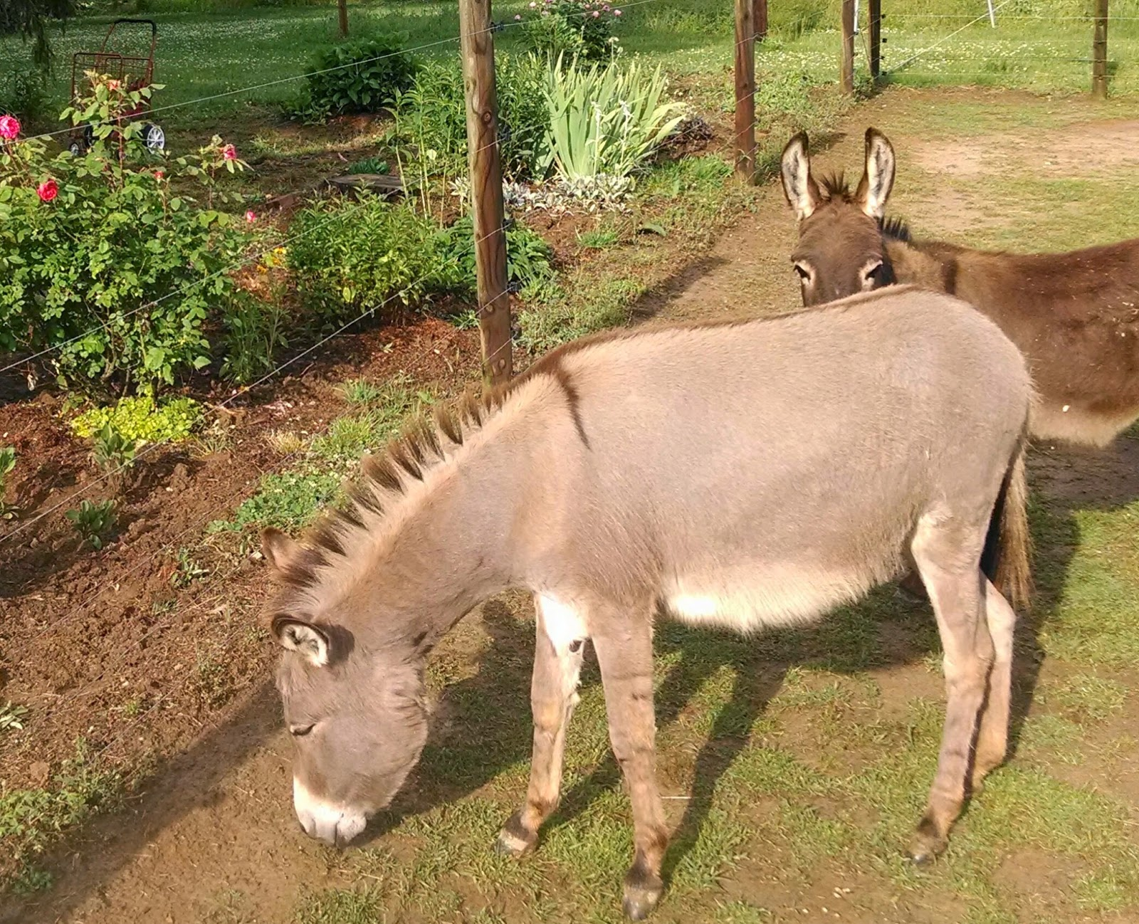 a gray miniature donkey with a smooth summer coat