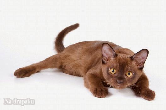 Koty jak czekolada