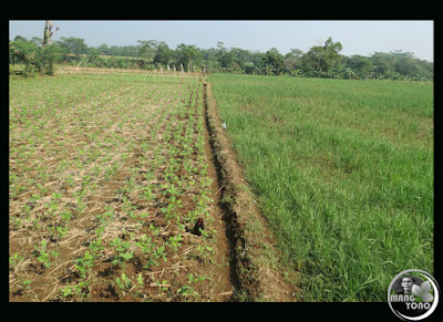 FOTO 4 : Lahan yang sebelah ditanami palawija dan sebelahnya dipaksakan tanam padi