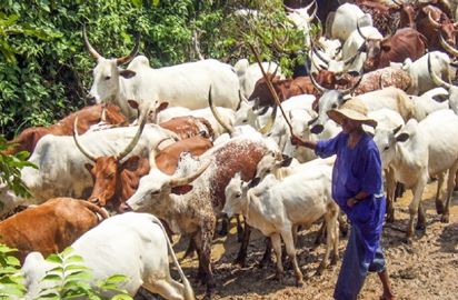 Herdsmen Destroy Ex-Naval Chief 67 Hectares of Cassava Plants In Kwara