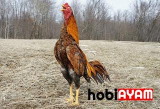 Ayam Bangkok, Ayam Thailand
