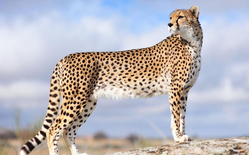 Beautiful And Dangerous Animals Birds Hd Wallpapers: Beautiful Cheetah Latest Hd Wallpapers/Images 2013