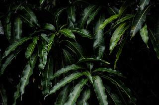 ciri tumbuhan dikotil