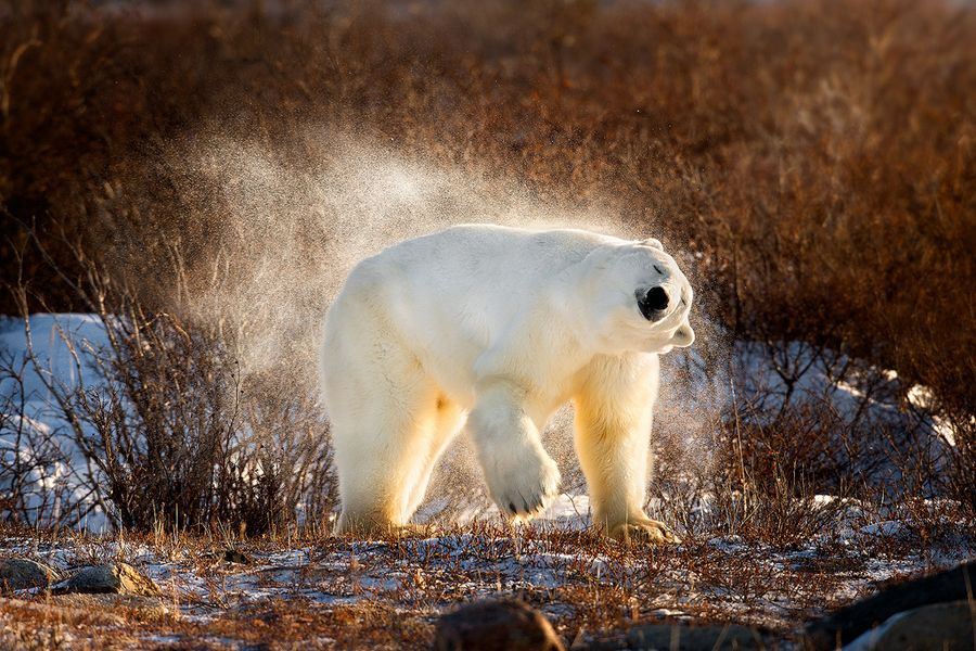 1. Polar Bear Shaking The Snow Off by Steve Perry
