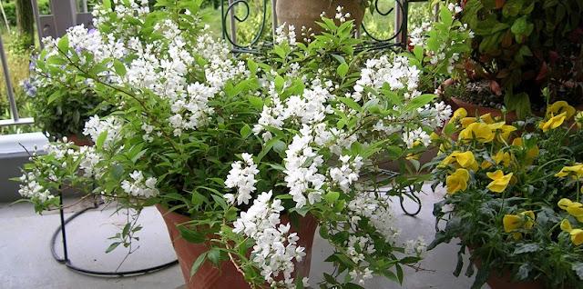 ヒメウツギの白い花