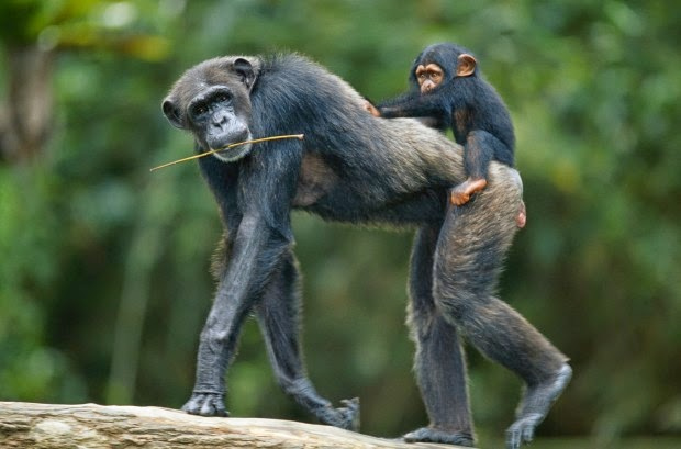filhote-chimpanzé