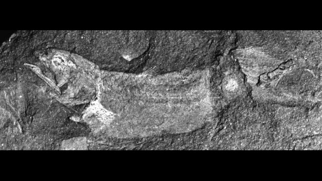 Fosil Coelacanth Afrika