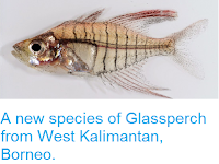http://sciencythoughts.blogspot.co.uk/2014/12/a-new-species-of-glassperch-from-west.html