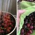 Cara untuk membuang kesan lilin pada buah Anggur / Epal dan lain-lain
